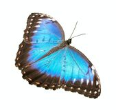 Blue morpho butterfly with open wings isolated on a white background
