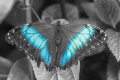 Blue Morpho Butterfly. (Morpho peleides) With Open Wings Royalty Free Stock Image