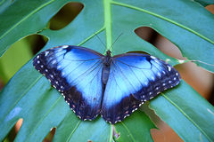 Blue Morpho Butterfly. Perched on leaf stock photos