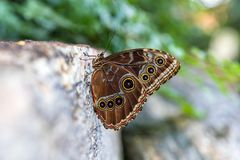Blue morpho butterfly perched on the side of a rock displaying b Stock Photo