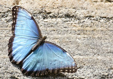 Blue Morpho Butterfly. Resting on a concrete wall Royalty Free Stock Image