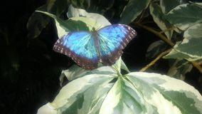 Blue Morpho butterfly resting on variegated leaves royalty free stock photography