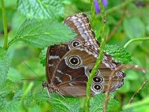 Blue Morpho Butterfly M. menelaus