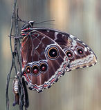 Blue morpho butterfly 2 Stock Photography