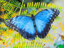 Blue Morpho butterfly. Sitting on the green leaf Royalty Free Stock Photos