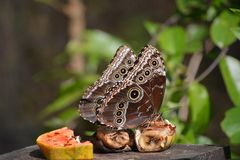 Blue Morpho Butterfly sitting on plate in Costa Rica