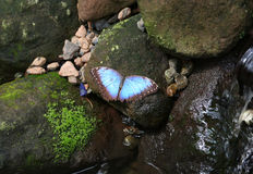 Blue Morpho Butterfly standing on a mossy wet rock Stock Photos