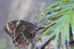 Blue Morpho butterfly (under side) & rain Royalty Free Stock Photos