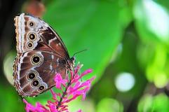 Blue Morpho butterfly (Under Side) Stock Photo