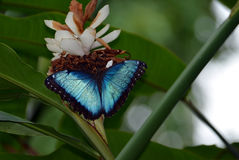 Blue Morpho Butterfly White Ginger Alpinia. Blue Morpho Butterfly sitting on White Ginger Alpinia plant with wings spread. Blurred green foliage background with Stock Images