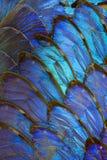 Blue morpho butterfly wing arrangement