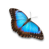 Blue Morpho butterfly. Wing open, isolated on white. Clipping path included Stock Photo