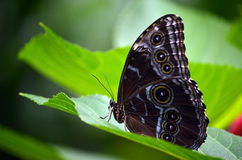 Blue Morpho Butterfly Wings Closed. Blue Morpho Butterfly sitting on a large leaf with wings closed. The blue color is only visible when their wings are spread Stock Photography
