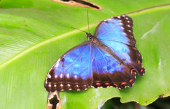 Blue Morpho Butterfly with wings extended royalty free stock photos