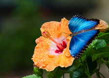 Blue Morpho butterfly on yellow hibiscus flower. Blue Morpho butterfly (Morpho peleides) on yellow orange hibiscus flower with water droplets Stock Images