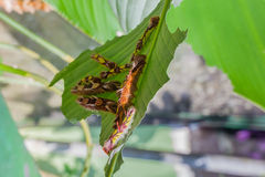 Blue Morpho Caterpillars Royalty Free Stock Photography