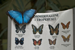 Blue Morpho on identification sign Stock Images