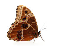 Blue morpho isolated Royalty Free Stock Photos