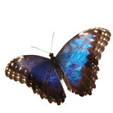 Blue morpho isolated Royalty Free Stock Photo