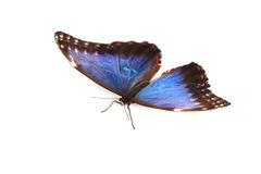 Blue morpho isolated Stock Images