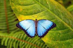 Blue Morpho on Leaf, Mindo, Ecuador