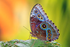 The Blue Morpho. Morpho menelaus, the Menelaus blue morpho, is an iridescent tropical butterfly of Central and South America Stock Photo