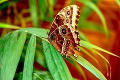 Blue Morpho, Morpho peleides, big butterfly sitting green leaf stock photos