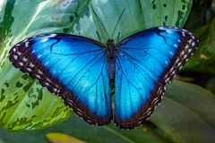 Blue Morpho, Morpho peleides, big butterfly sitting on green leaves,  beautiful insect in the nature habitat, wildlife royalty free stock images