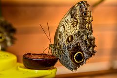 Blue Morpho, Morpho peleides, big butterfly sitting on a food stock photography