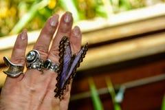 Blue Morpho, Morpho peleides, big butterfly sitting on hand fingers stock photos
