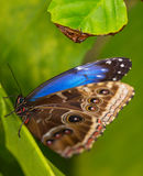 Blue morpho (morpho peleides) on green nature background. Royalty Free Stock Photo
