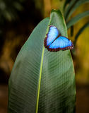 Blue Morpho peleides with open wings. Stock Photos