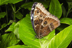 Blue Morpho perched on a green leaf stock photography