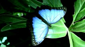 Blue morpho resting stock video footage