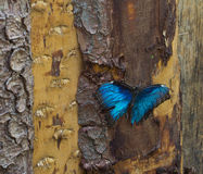 Blue morpho sitting on an trunk. Blue morpho lands on a tree trunk to rest Stock Images