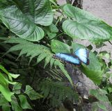 Blue Morpho - Tropical Butterfly Royalty Free Stock Photo