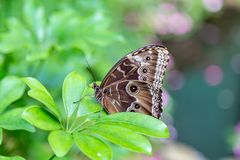 Blue morpho butterfly perching on a leaf. Blue morpho with wings closed as seen in a Massachusetts butterfly garden. Multiple eyespot on the brown wings royalty free stock images