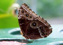 Blue morpho (underside) Royalty Free Stock Image