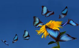Blue morphos Stock Images