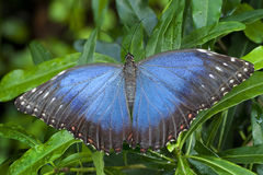 Blue Morphus butterfly Stock Images