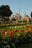 Blue mosque tulips Stock Photos