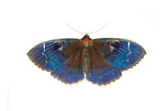 Blue moths Stock Image