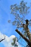 Blue Mountain 8. Eucalyptus tree on Blue mountain taken against azure sky Stock Photo