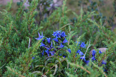Blue mountain flowers. royalty free stock photos