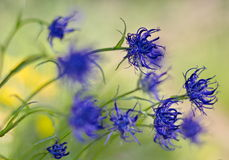 Blue mountain flowers in the wind Royalty Free Stock Photo