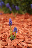 Blue Muscari Stock Images