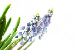 Blue muscari Royalty Free Stock Photography
