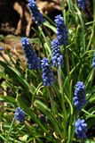 Blue muscari armeniacum grape hyacinth, Armenian grape hyacinth, garden grape-hyacinth flowers blooming with green leaves. Blurry background royalty free stock images
