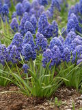 Blue muscari bacground Stock Images