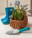 Blue Muscari in the basket and shovel Royalty Free Stock Images